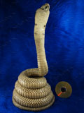 King Cobra Mount Taxidermy, 13.75 ft Snake