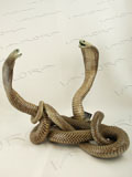 Free Shipping on Fighting Asian Spitting Cobra Snakes Taxidermy #32