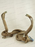 Free Shipping on Fighting Asian Spitting Cobra Snakes Taxidermy #34